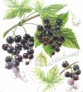 Blackcurrant